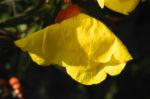 Gemeine Nachtkerze Bluete gelb Oenothera biennis 03