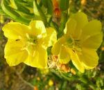 Gemeine Nachtkerze Bluete gelb Oenothera biennis 05