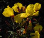 Bild: Gemeine Nachtkerze Blüte gelb Oenothera biennis