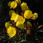 Gemeine Nachtkerze Bluete gelb Oenothera biennis 08
