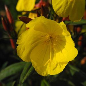 Gemeine Nachtkerze Bluete gelb Oenothera biennis 09