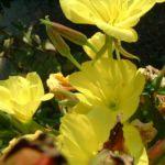 Gemeine Nachtkerze Oenothera biennis 02