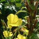 Gemeine Nachtkerze Oenothera biennis 03