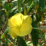 Gemeine Nachtkerze Oenothera biennis 04