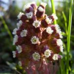 Gemeine Pestwurz Petasites hybridus 02