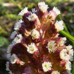 Gemeine Pestwurz Petasites hybridus 03