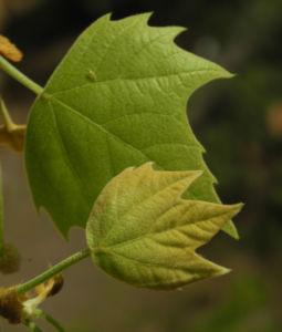 Gemeine Platane Blatt gruen Platanus × hispanica 13