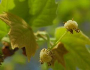 Gemeine Platane Knospe gruen Platanus × hispanica 11