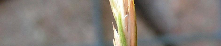 gemeine-quecke-aehre-elymus-repens