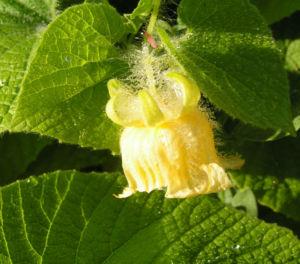 Gemeine Quetschblume Bluete gelb Thladiantha dubia 02