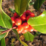 Gemeine Stechpalme Baum Frucht rot Ilex aquifolium 02