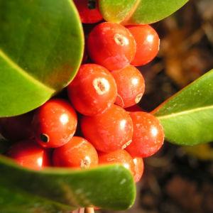 Gemeine Stechpalme Baum Frucht rot Ilex aquifolium 04