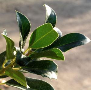 Gemeine Stechpalme Baum Frucht rot Ilex aquifolium 05