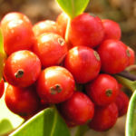 Gemeine Stechpalme Baum Frucht rot Ilex aquifolium 08