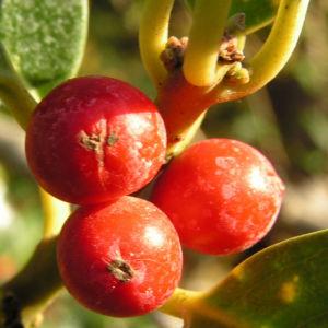 Gemeine Stechpalme Baum Frucht rot Ilex aquifolium 10