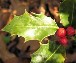 Gemeine Stechpalme Baum Frucht rot Ilex aquifolium 11