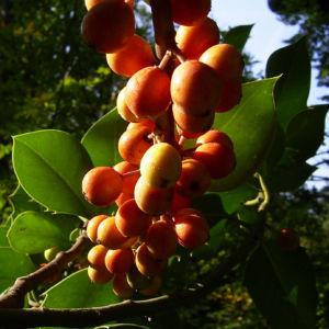Gemeine Stechpalme Frucht orange Ilex aquifolium 01
