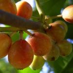 Gemeine Stechpalme Frucht orange Ilex aquifolium 03