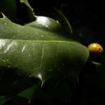 Gemeine Stechpalme Frucht orange Ilex aquifolium 04