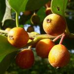 Gemeine Stechpalme Frucht orange Ilex aquifolium 05