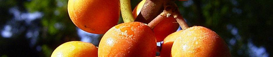 gemeine-stechpalme-frucht-orange-ilex-aquifolium