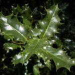 Gemeine Stechpalme Frucht rot Ilex aquifolium 01