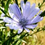Gemeine Wegwarte Bluete hellblau Cichorium intybus 01