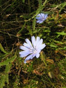Gemeine Wegwarte Bluete hellblau Cichorium intybus 03