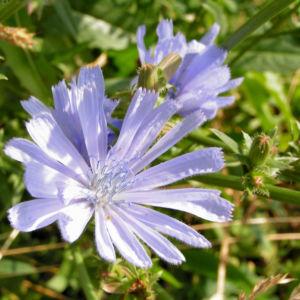 Gemeine Wegwarte Bluete hellblau Cichorium intybus 04