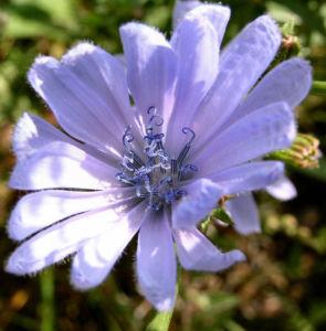 Gemeine Wegwarte Bluete hellblau Cichorium intybus 06