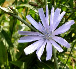 Gemeine Wegwarte Bluete hellblau Cichorium intybus 07