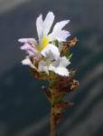 Gemeiner Augentrost Bluete weiss Euphrasia officinalis 05