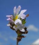 Gemeiner Augentrost Bluete weiss Euphrasia officinalis 06