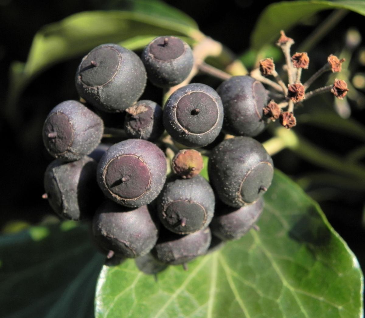 Gemeiner Efeu Blatt gruen Frucht schwarz blau Hedera helix