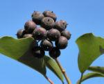 Gemeiner Efeu Blatt gruen Frucht schwarz blau Hedera helix 09