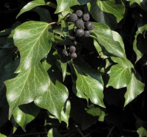 Gemeiner Efeu Blatt gruen Frucht schwarz blau Hedera helix 15