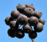 Gemeiner Efeu Frucht schwarz blau Hedera helix 06