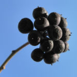 Gemeiner Efeu Frucht schwarz blau Hedera helix 07