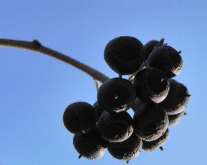 Gemeiner Efeu Frucht schwarz blau Hedera helix 08