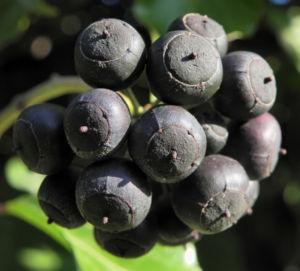 Gemeiner Efeu Frucht schwarz blau Hedera helix 09