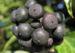 Zurück zum kompletten Bilderset Gemeiner Efeu Frucht schwarz blau Hedera helix