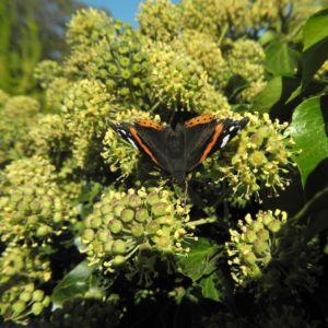 Gemeiner Efeu Schmetterling Hedera helix 01