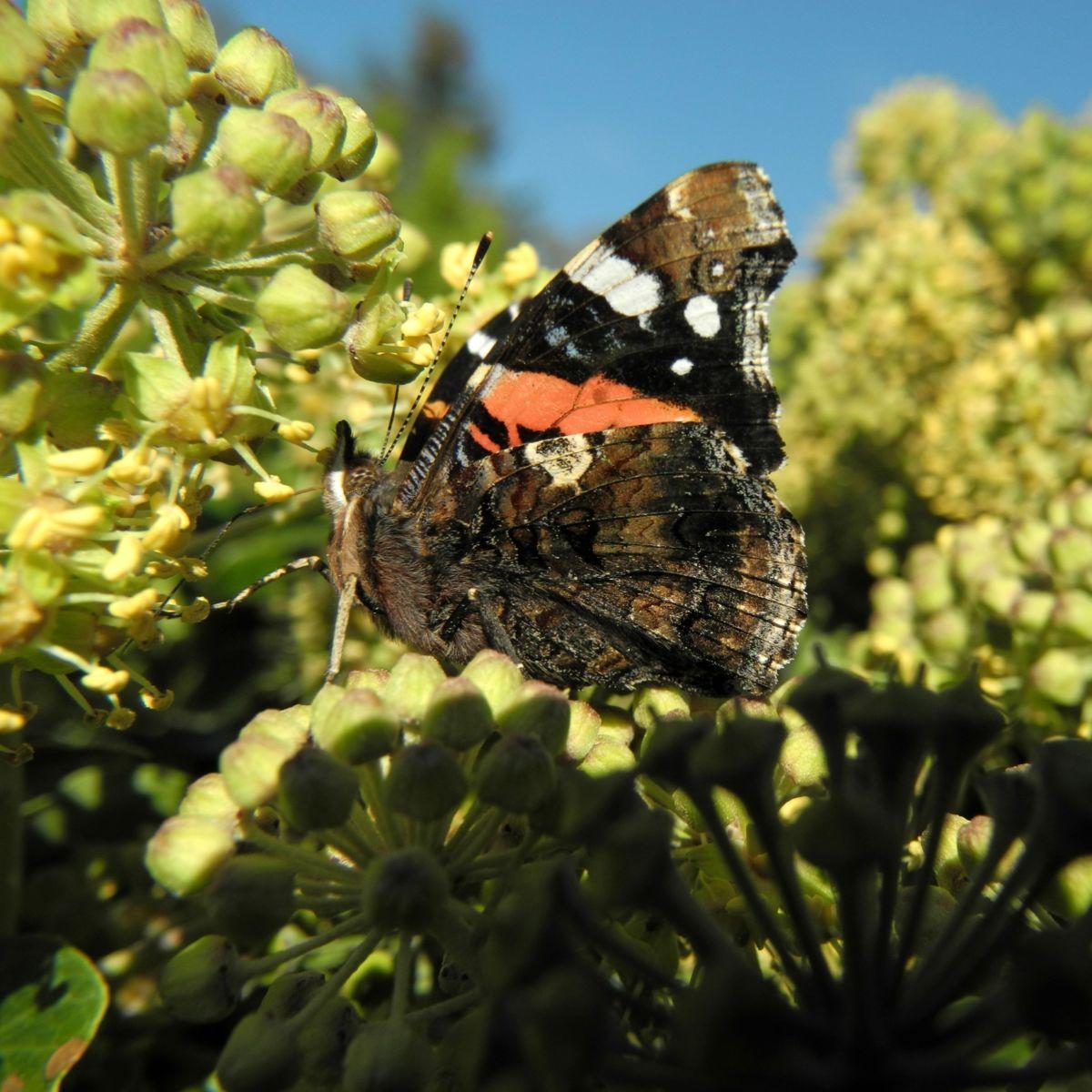 Gemeiner Efeu Schmetterling Hedera helix