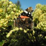 Gemeiner Efeu Schmetterling Hedera helix 09