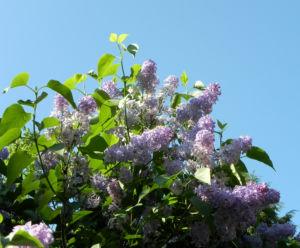 Gemeiner Flieder Bluete helllila Syringa vulgaris 01