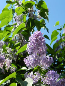Gemeiner Flieder Bluete helllila Syringa vulgaris 02