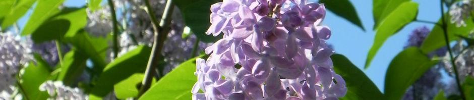 gemeiner-flieder-bluete-helllila-syringa-vulgaris