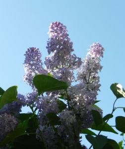 Gemeiner Flieder Bluete helllila Syringa vulgaris 06