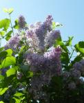 Gemeiner Flieder Bluete helllila Syringa vulgaris 07