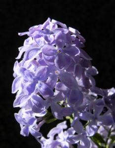 Gemeiner Flieder Bluete helllila Syringa vulgaris 09